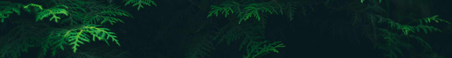 tuia listva derevo kust temno zelenyi fon 2